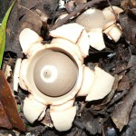 Geastrum sp.