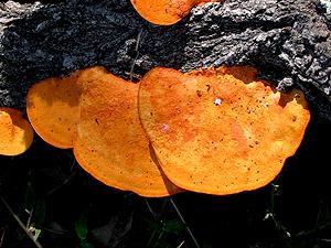 Pycnoporus coccineus