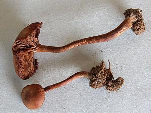 Crucispora naucorioides (© Pat Leonard)