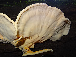 Laetiporus sp. (© Glenda Walter)