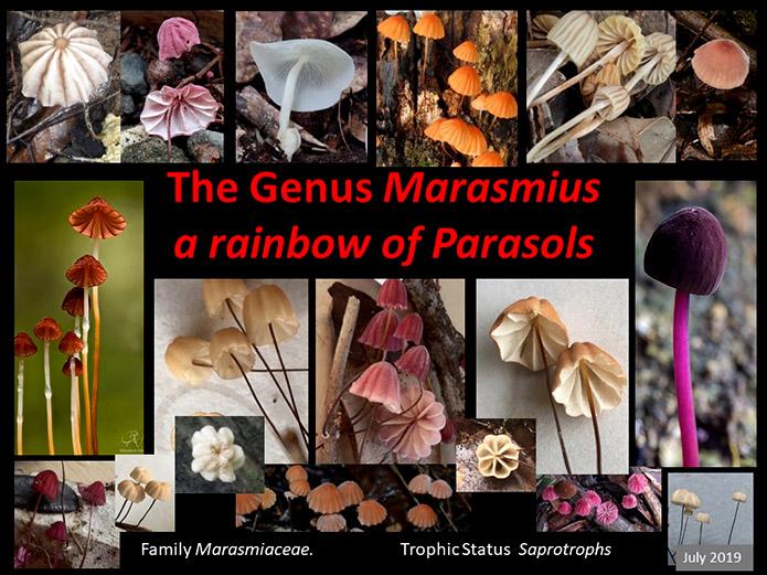 Marasmius July 2019