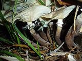 Armillaria fumosa