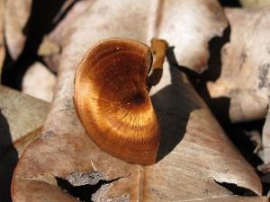 Coltricia cinnamomea (© Susan Nelles)